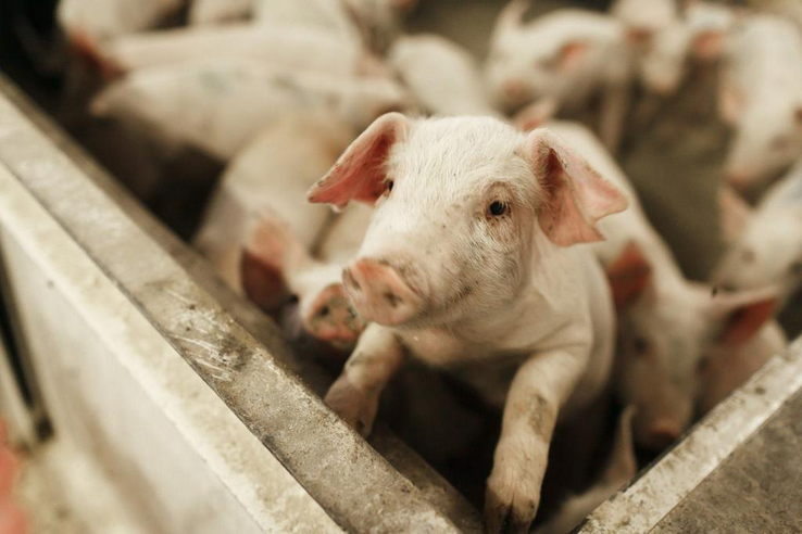 В Ленобласти усилена профилактика заноса АЧС и гриппа птиц
