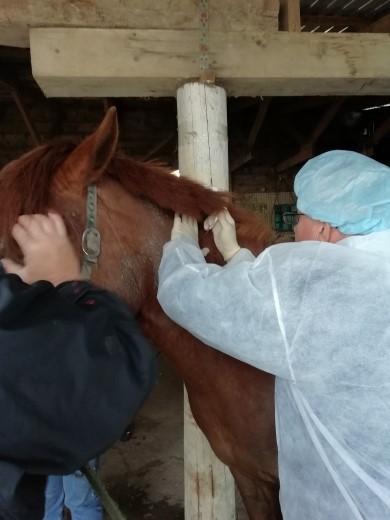 Вакцинация лошадей против гриппа и столбняка